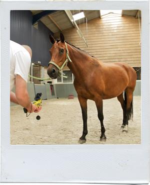 Hans Arendse bei der thermografischen Aufnahme eines Pferdes